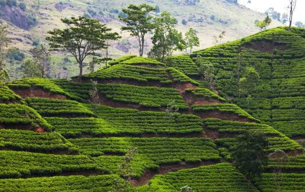 Шри-Ланка: чай волшебный из Цейлона   NewTea
