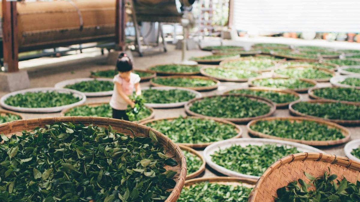 Китайский Белый чай - как делают