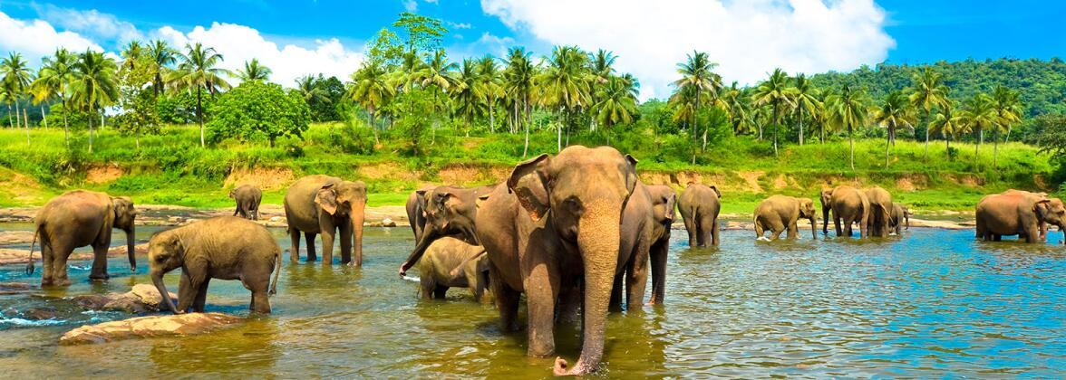 Чай из Шри-Ланки