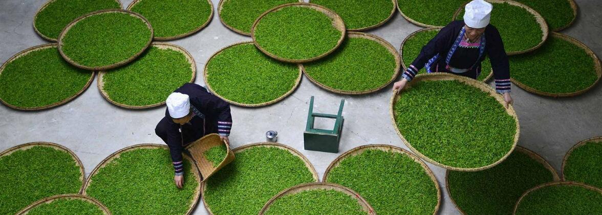 Способи ферментації чаю