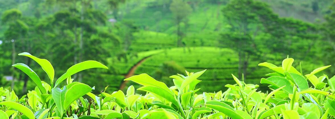Як правильно вживати екстракт зеленого чаю
