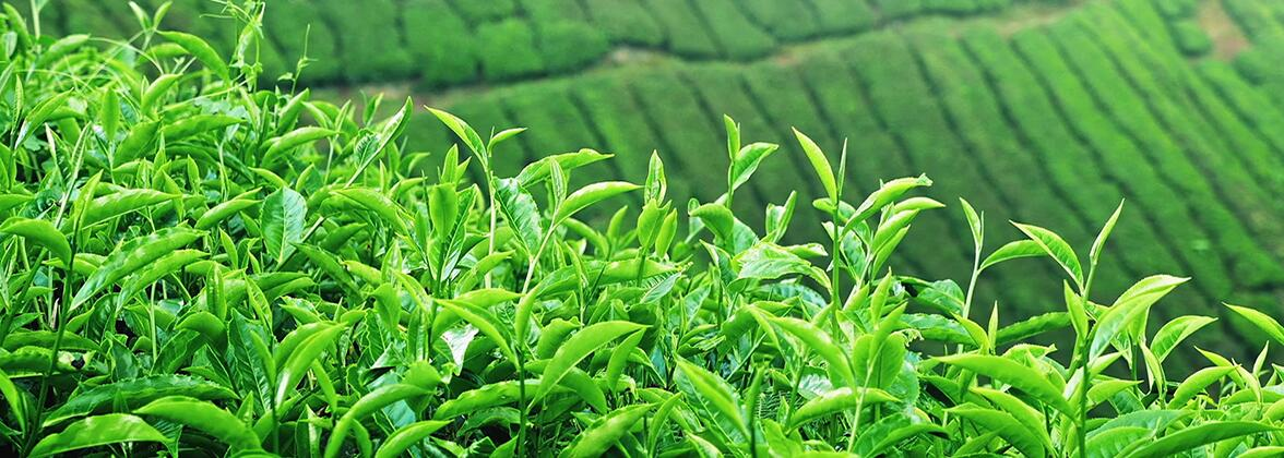 Чи підвищує зелений чай тиск