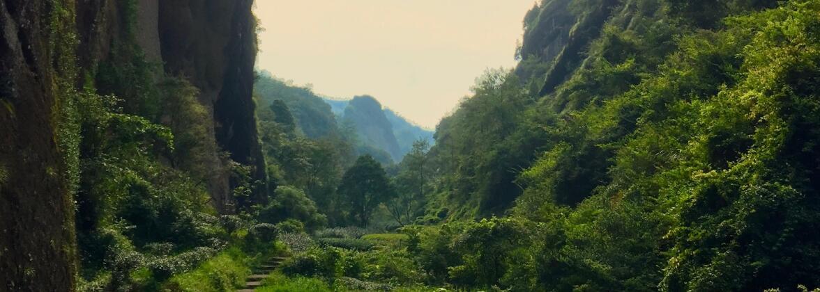 Утесные улуны: Уишаньские улуны