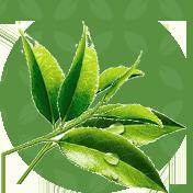 Корисний зелений чай